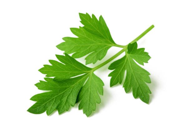 Fresh parsley Fresh parsley sprig isolated  on white background cilantro stock pictures, royalty-free photos & images