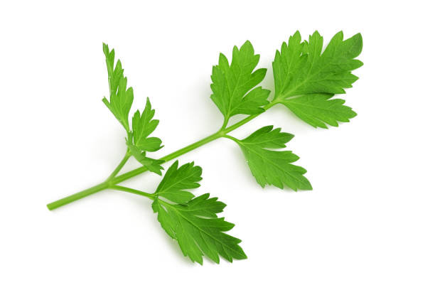 Fresh parsley sprig Fresh parsley sprig cilantro stock pictures, royalty-free photos & images