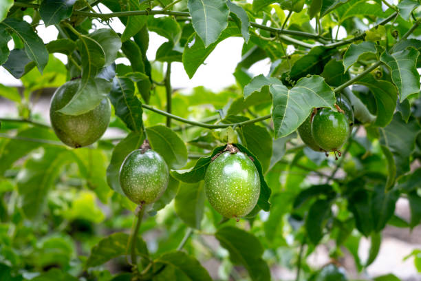 Fresh passion fruit on the tree, passion fruit farm stock photo