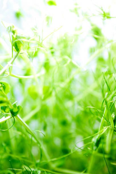 Frische Erbse sprouts – Foto