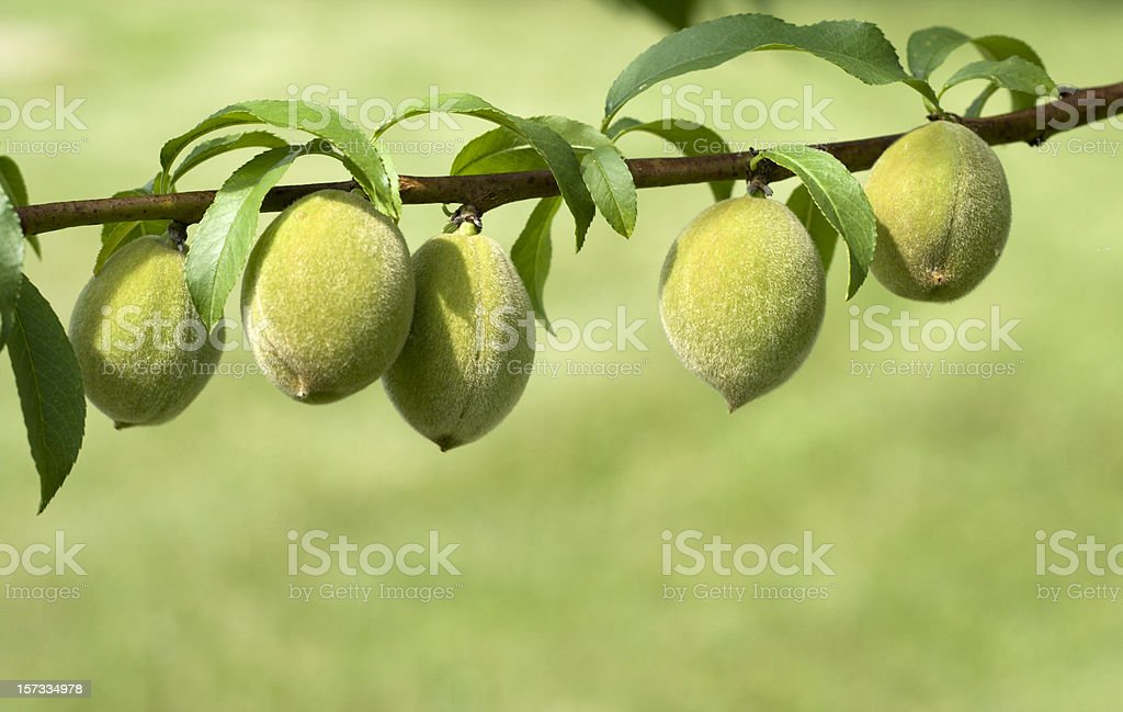 Fresh Peaches Growing on Branch stock photo