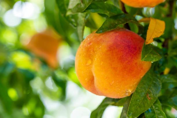 Fresh peaches on tree after rain. stock photo
