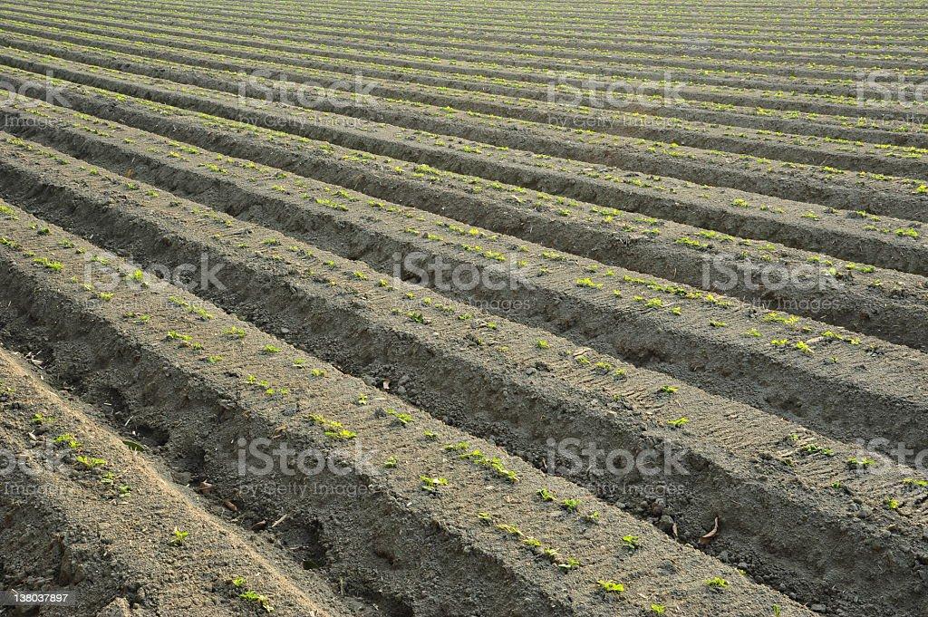 Fresh Peanut Farm royalty-free stock photo