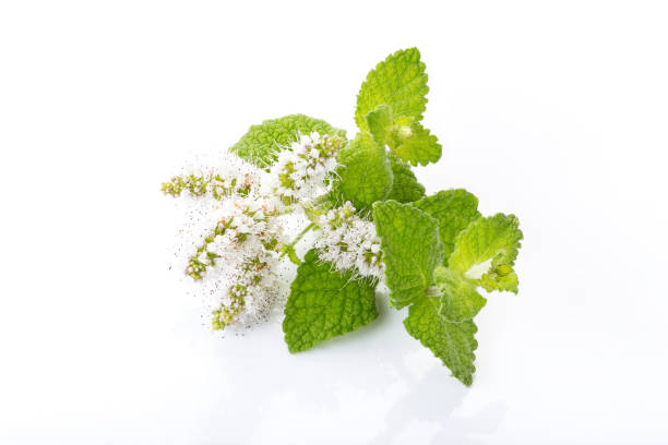 Fresh peppermint on white background stock photo