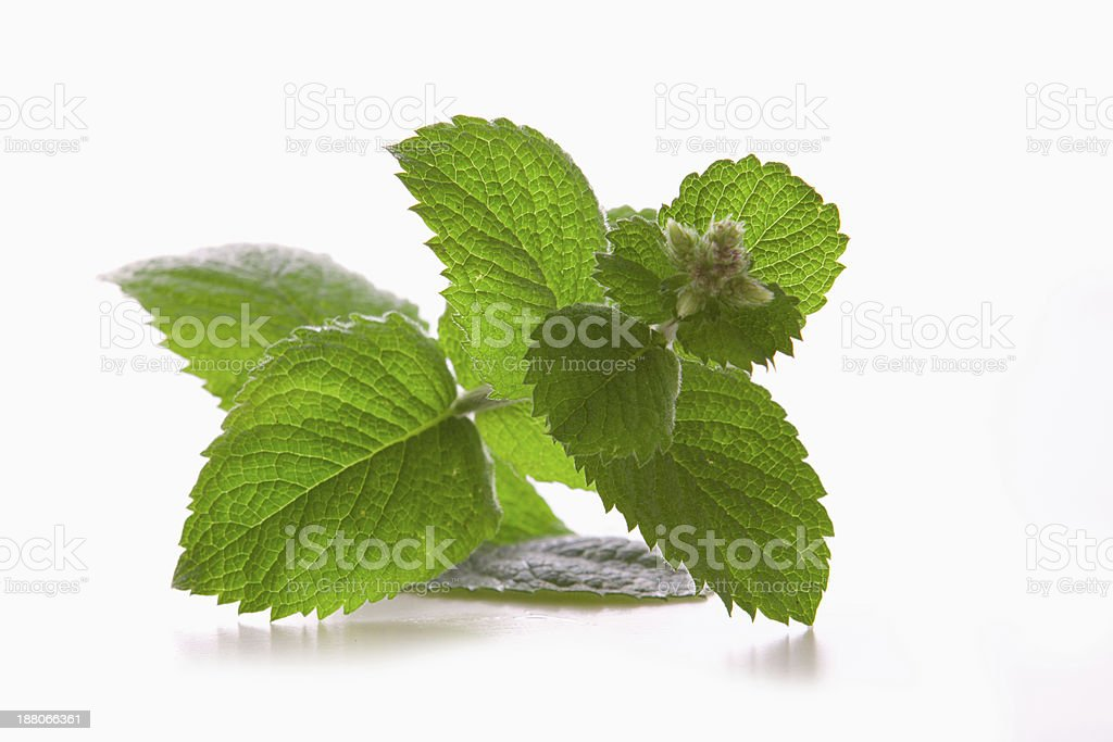 Fresh peppermint plant . stock photo