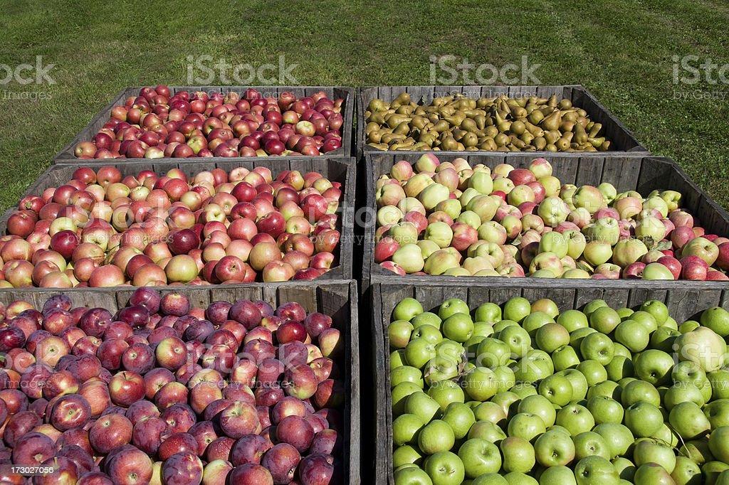 fresh picked apples stock photo