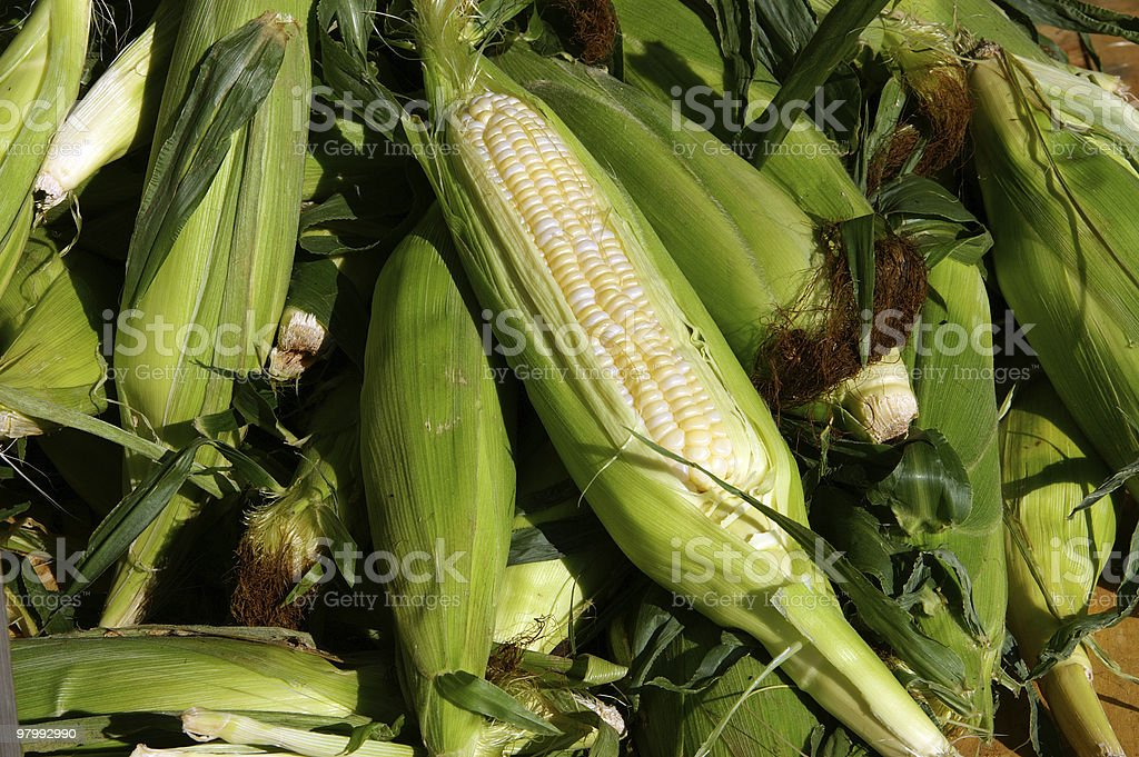 Fresh picked corn royalty-free stock photo