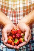 Fresh picked strawberries held in hands