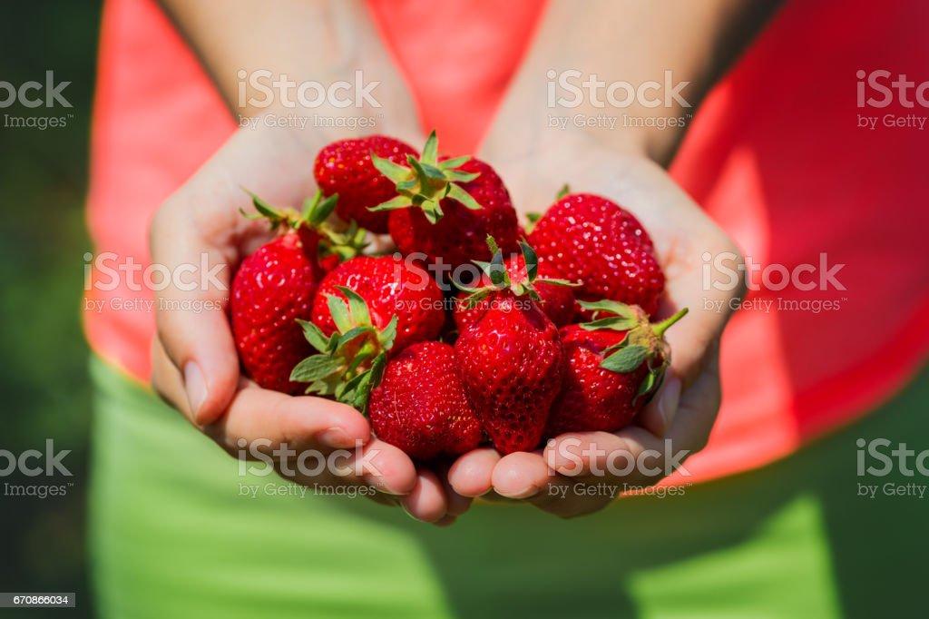 Fresh picked strawberries held over strawberry plants stock photo