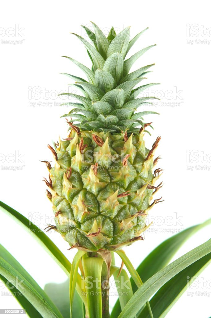 fresh pineapple fruit on a pineapple plant (Ananas comosus) closeup royalty-free stock photo