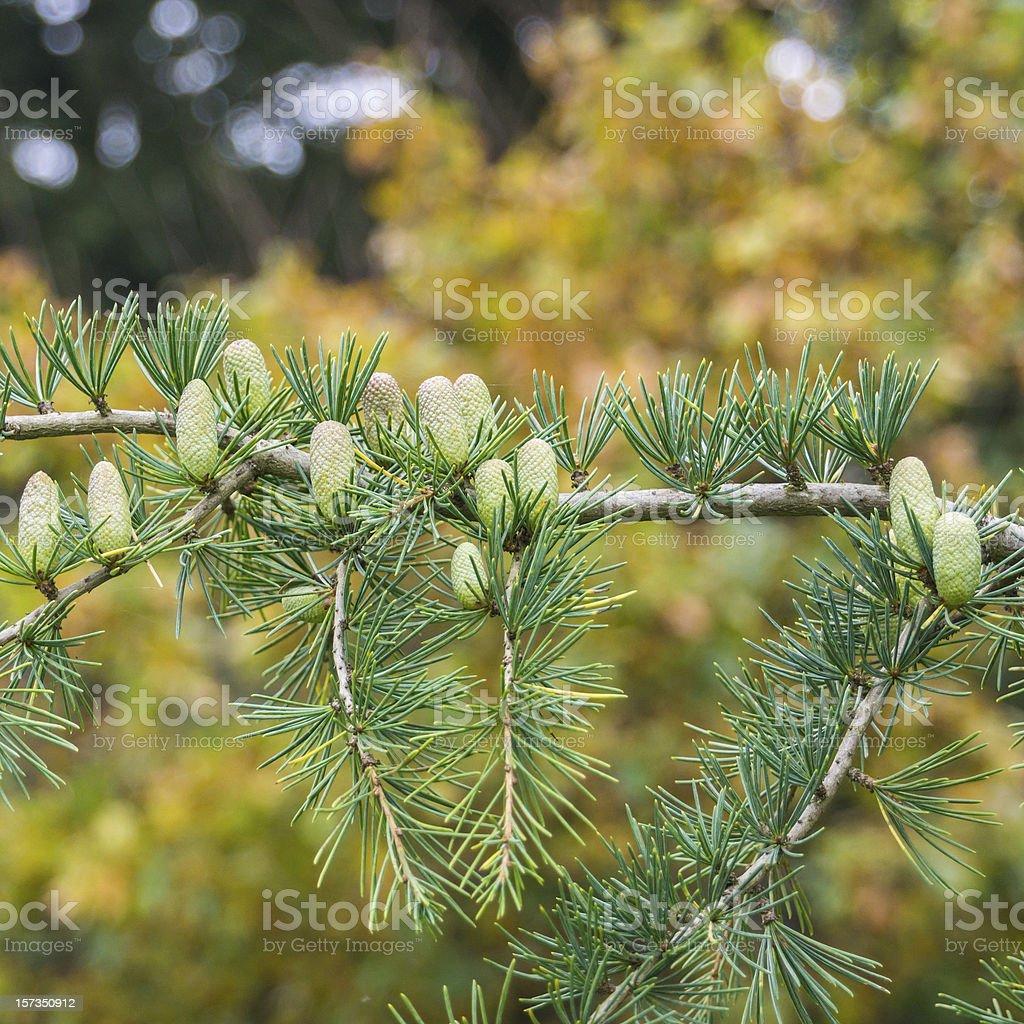 Fresh Pinecone stock photo