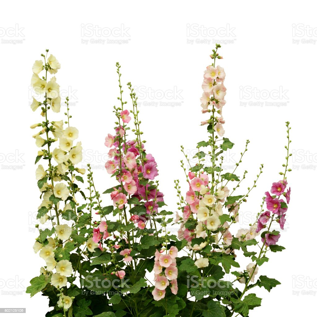 Fresh pink and white mallow flowers stock photo