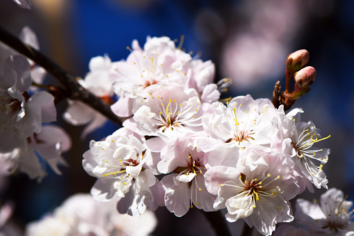 A branch of beautiful soft pink blossoms of an apple tree on a branch in an agriculture orchard with bright blue sky behind.
