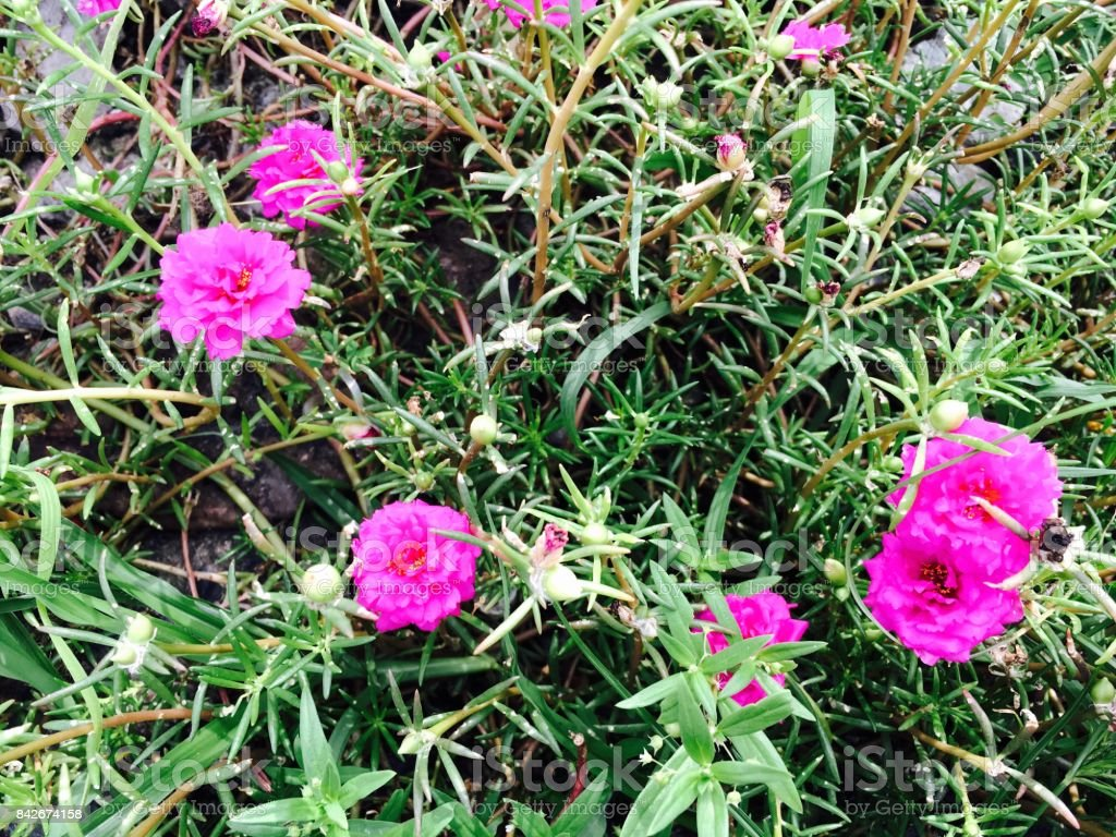 Fresh Pink Common Purslane Flowers In A Garden Stock Photo More