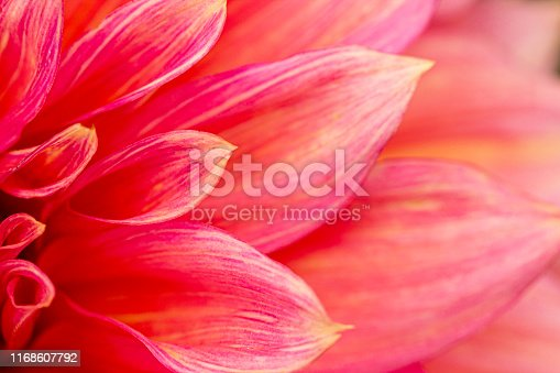 Fresh pink dahlia flower, photographed at close range, with emphasis on petal layers. Macro photography background