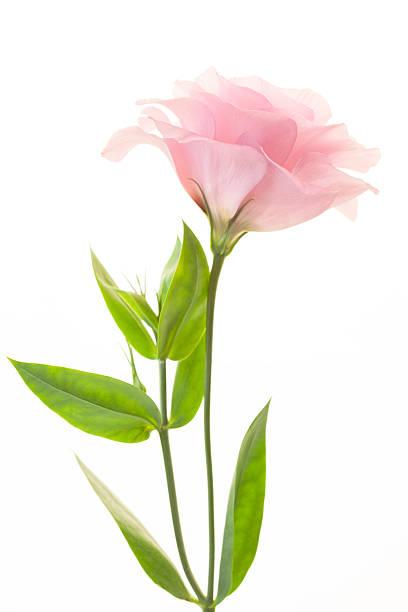 Fresh pink eustoma isolated on white background picture id468726680?b=1&k=6&m=468726680&s=612x612&w=0&h=e7mzwowv1e8lefushntgnjtfil8ozqulj ju3f9s ug=