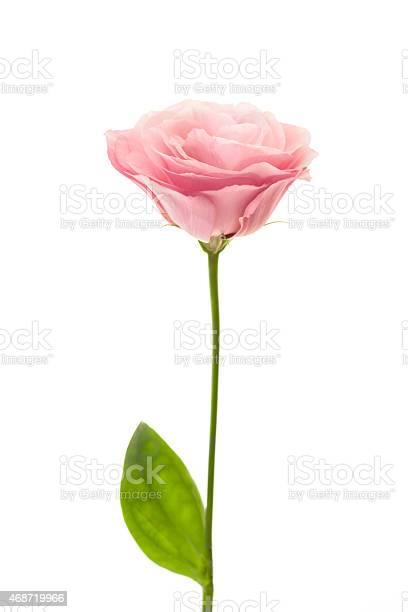 Fresh pink eustoma isolated on white picture id468719966?b=1&k=6&m=468719966&s=612x612&h=0yrzdc 7jy7aztvochambzlfdldbsecxonbhhi8zfvy=