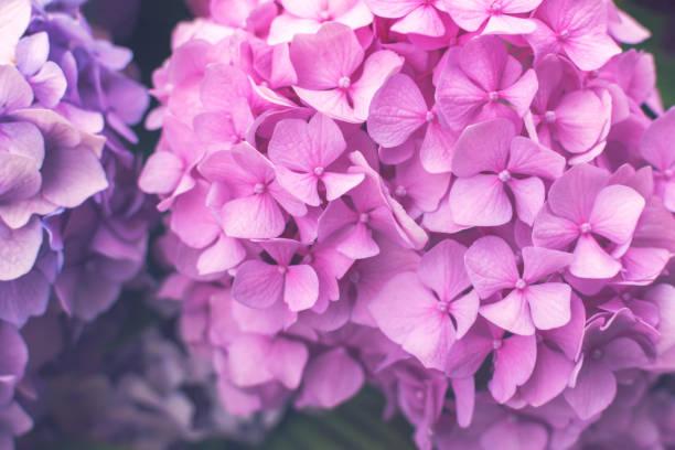 Frische rosa Hortensie oder Hortensienblüten wachsen im Garten. – Foto
