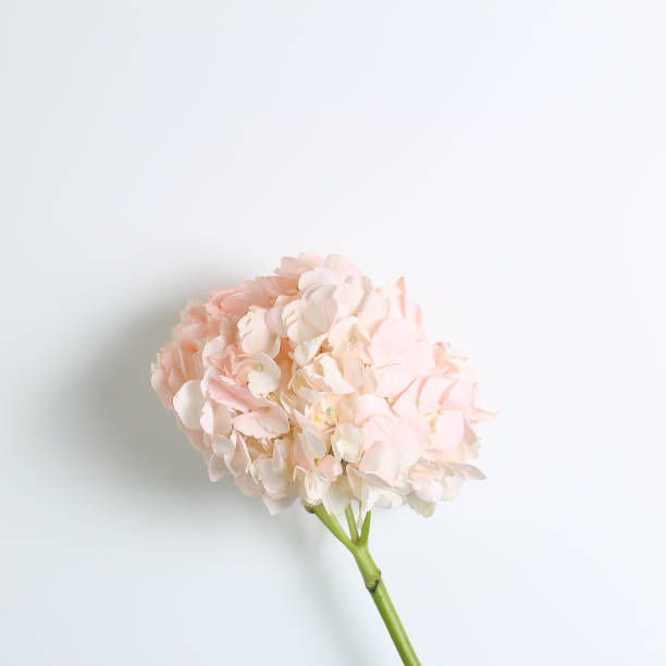 Fresh pink hydrangea flower on white background. Floral composition, top view, copy space stock photo