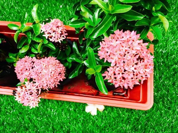 verse roze ixora bloemen in een pot - pauwenkers stockfoto's en -beelden