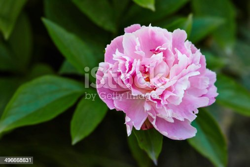 Fresh pink peony flower closeup on the bush