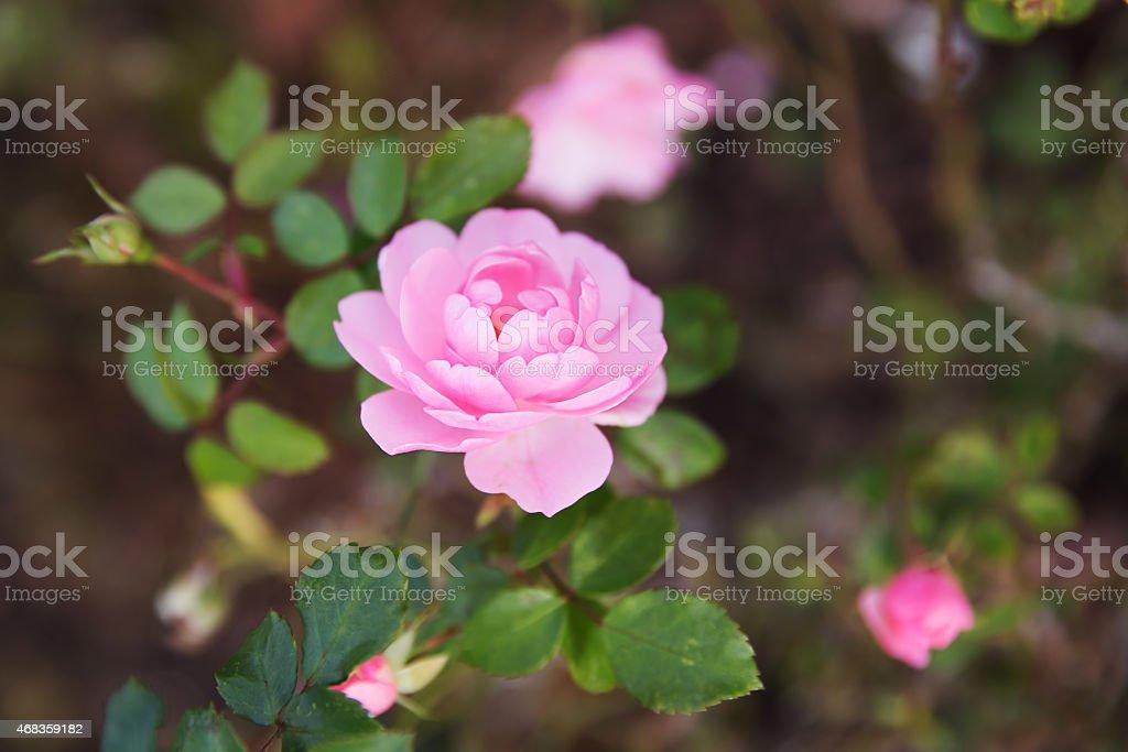 Fresh pink roses bush royalty-free stock photo