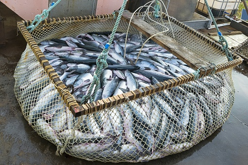 Pacific salmon fishing industry in the far East of Russia. Sea of Okhotsk, Khabarovsk region.