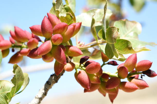 fresh pistachios in the branches of the tree stock photo