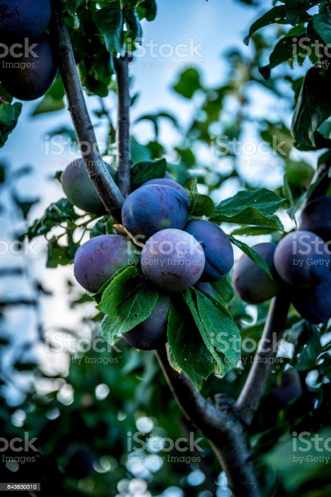 ameixas frescas do Mediterrâneo - foto de acervo