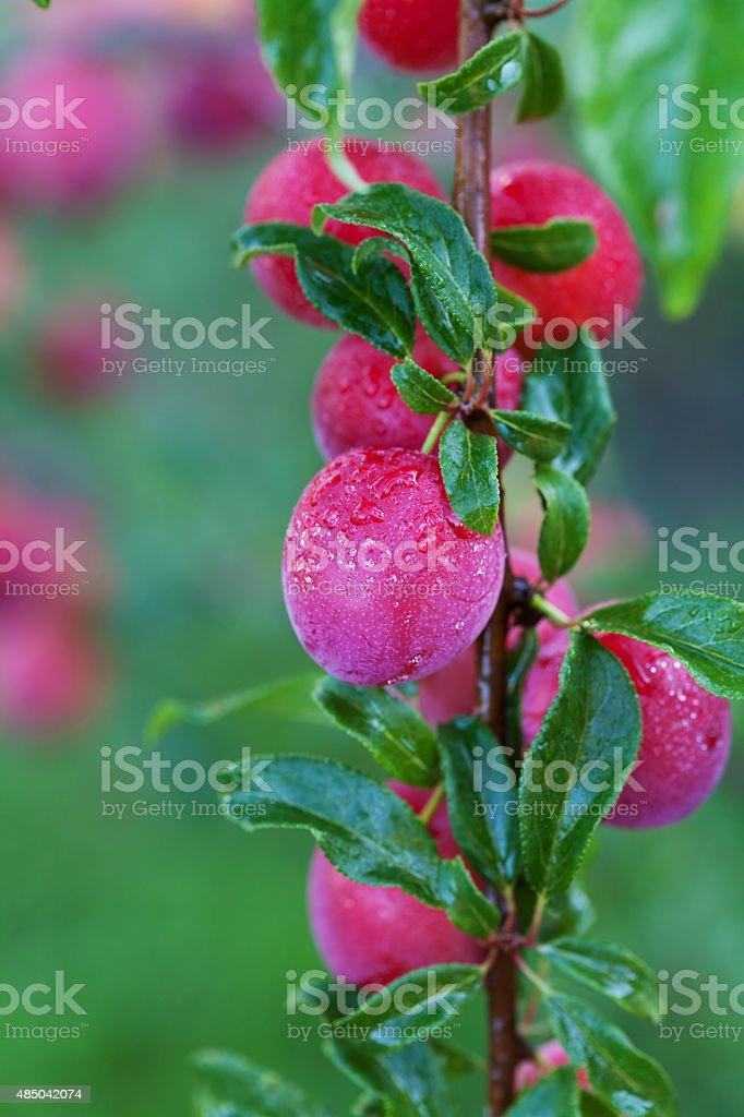 Fresh plums on the tree in orchard stock photo