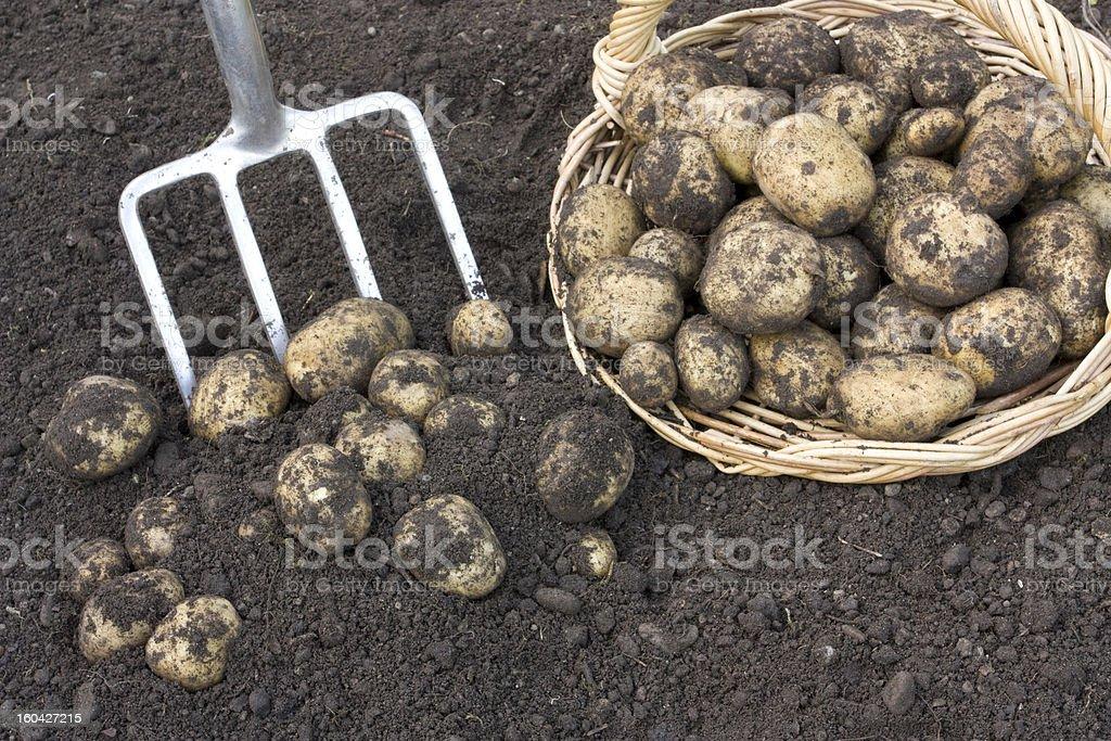 Fresh potatoes dug out royalty-free stock photo