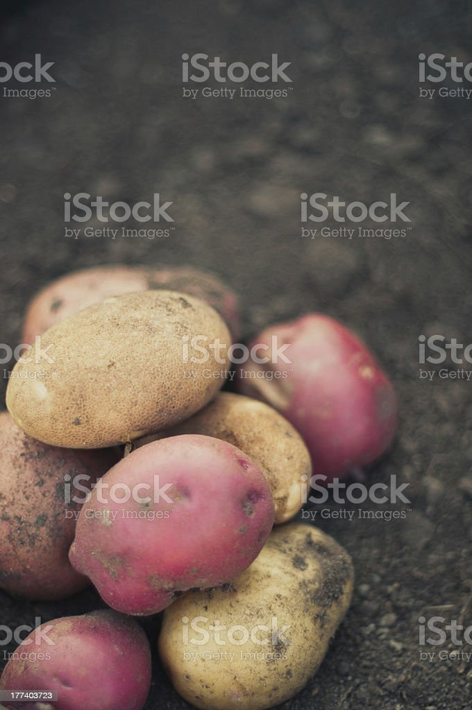Fresh Potatoes from the Garden stock photo
