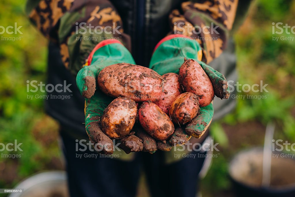 Fresh potatoes in farmer's hands. Soilwork concept stock photo