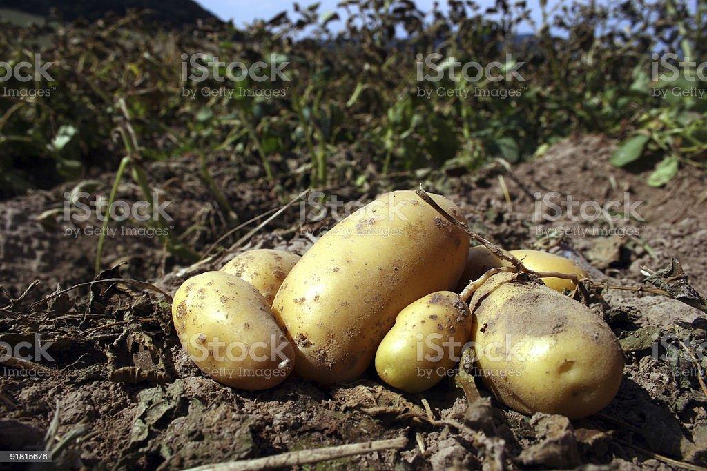Fresh potatoes on a field royalty-free stock photo