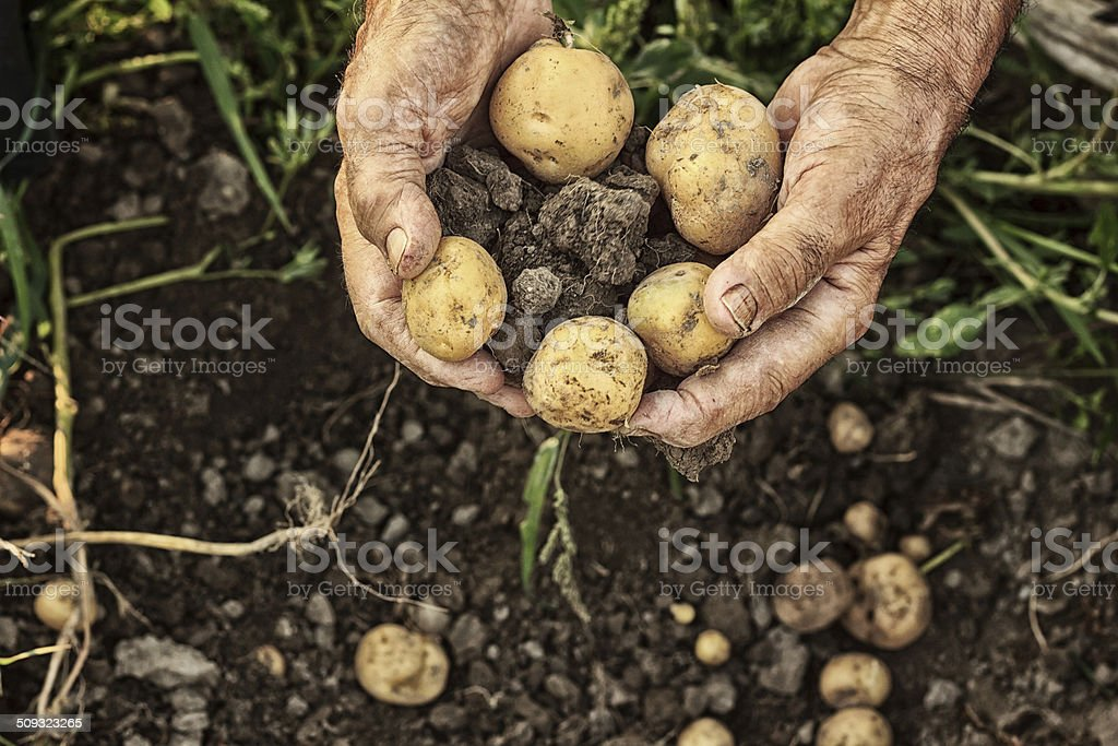 Fresh potatoes stock photo