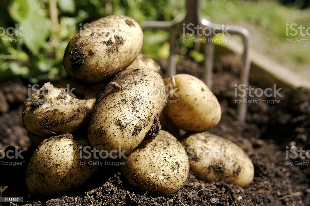 Fresh Potatoes... stock photo