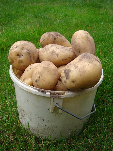 fresh potatoes with some soil in a bucket - fsachs78 stockfoto's en -beelden
