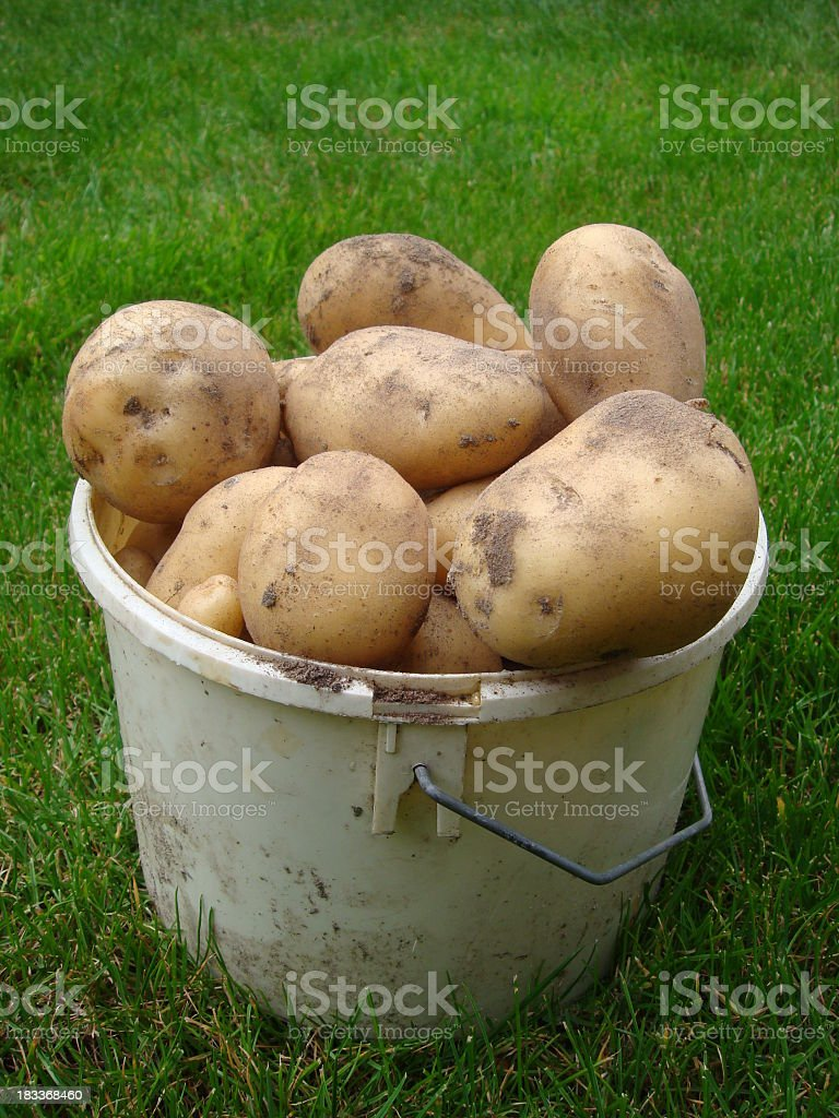 Fresh potatoes with some soil in a bucket​​​ foto