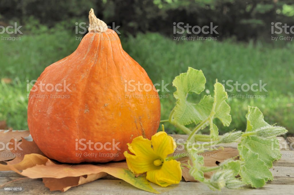 fresh pumpkin in garden zbiór zdjęć royalty-free