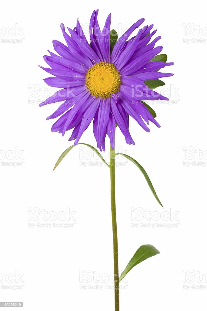 fresh purple aster royalty-free stock photo