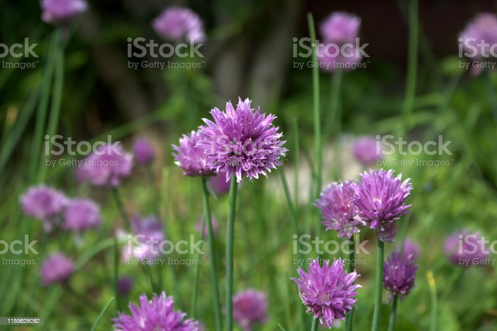 Fresh purple chives flower blossoms in the spring organic herb...