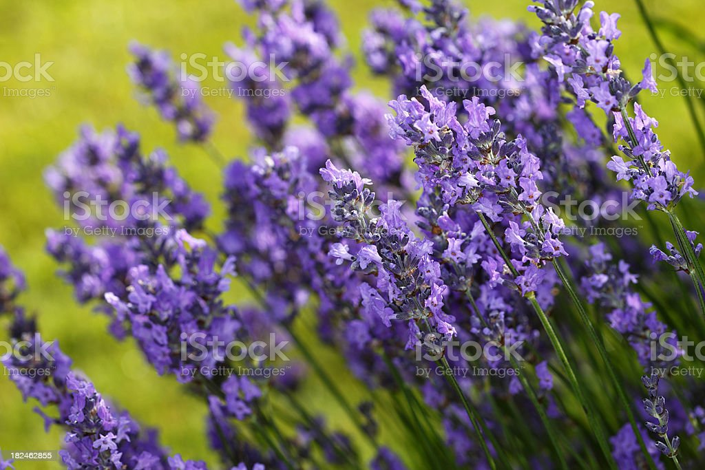Fresh purple organic lavender flowers faded green back stock photo