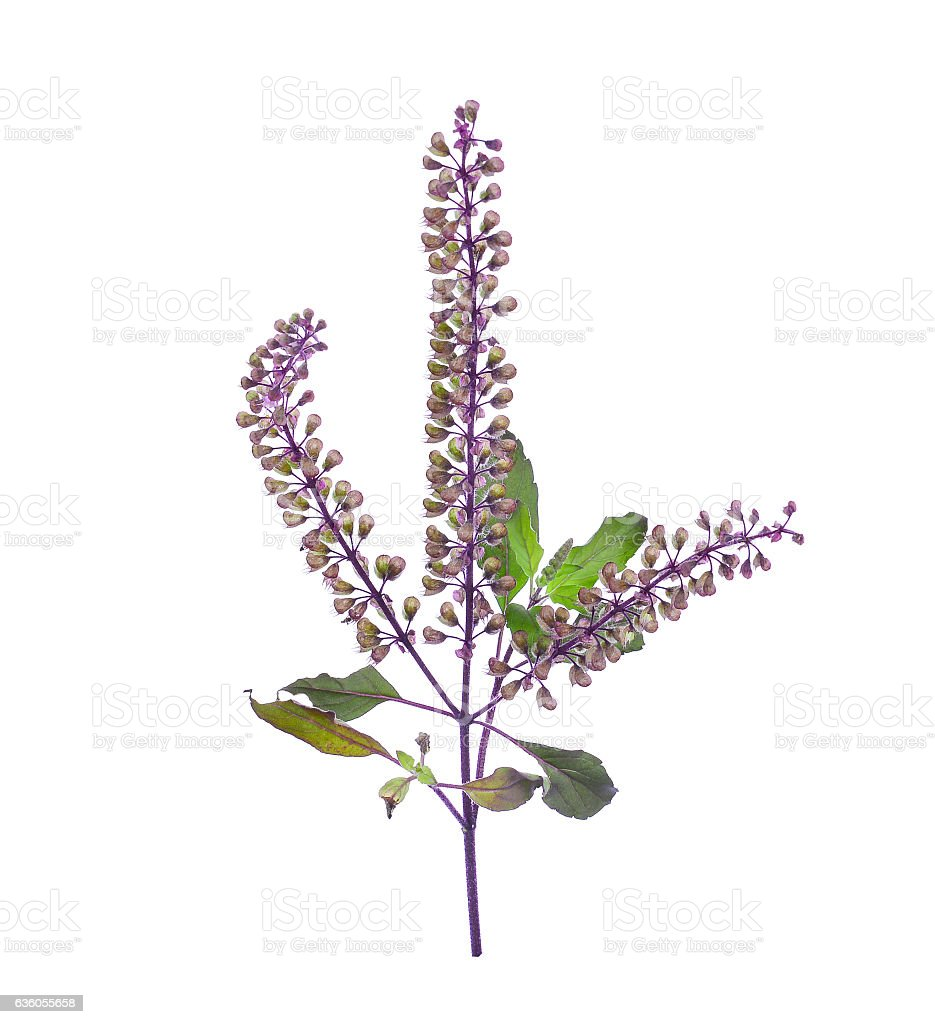 fresh purple sweet basil flower isolated on a white background stock photo