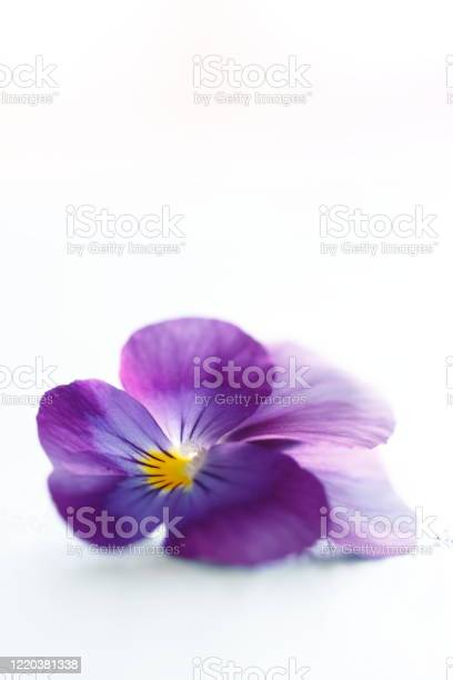 Photo of fresh purple violet, on white surface