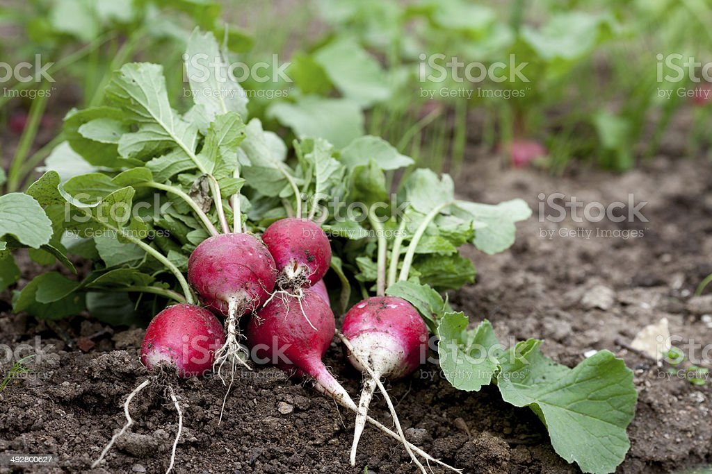 Fresh radish growing in garden stock photo