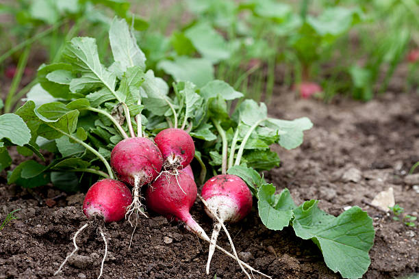 Fresh radish growing in garden stock photo
