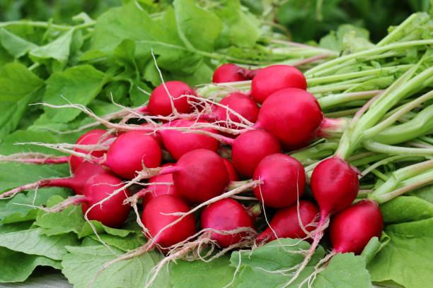 Fresh radishes with tops closeup. stock photo