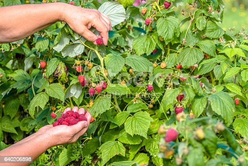 istock Fresh raspberries picking, fruits harvest in the garden 640206898