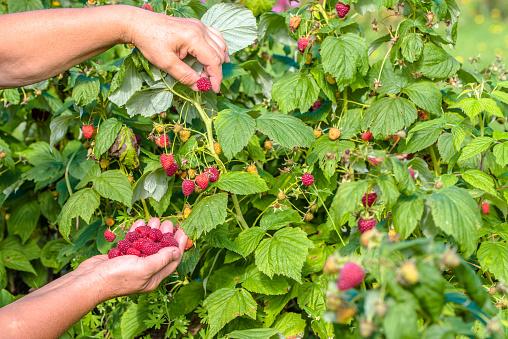 istock Fresh raspberries picking, fruits harvest in the garden 640206898