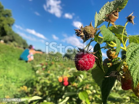 a fresh ripe raspberry on the end of a branch is ready for picking at harvest time.  close up detail.